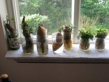 Sweet potatoes growing on window sill