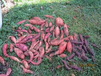 Sweet potatoes lying grass 2