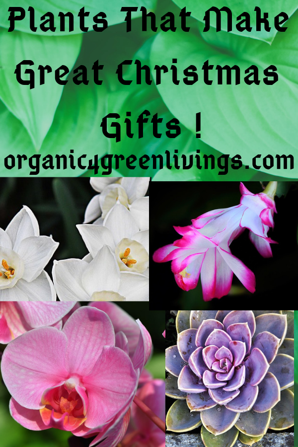 Plants for Christmas gifts