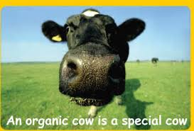 Organic cows are special cows