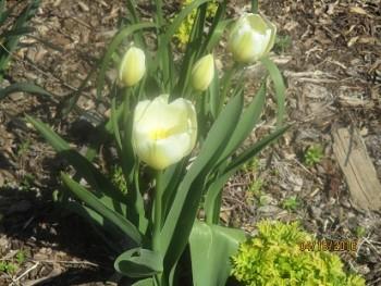 Organic White tulips