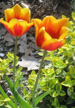 Spring Tulip -Organic grown