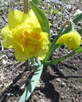 Double Yellow Daffoilds - Organically grown