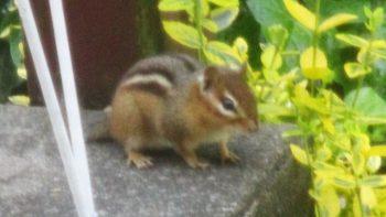 Chipmunk on my steps