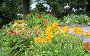 Many colorful Day-Lilies