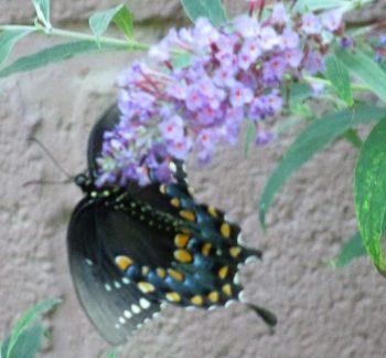Butterfly on Dwarf Butterfly bush