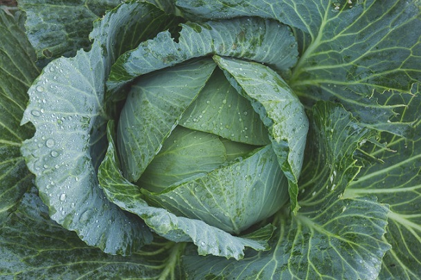 cabbage from DIY garden