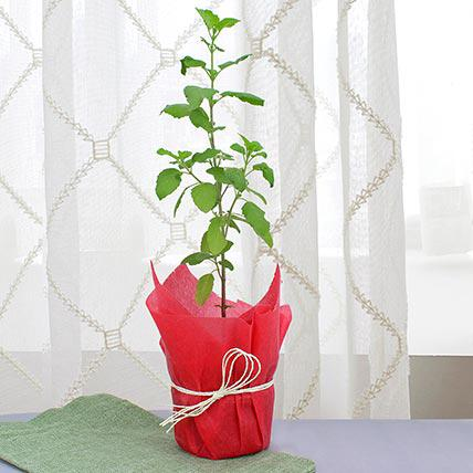 Holy Basil plant for a gift