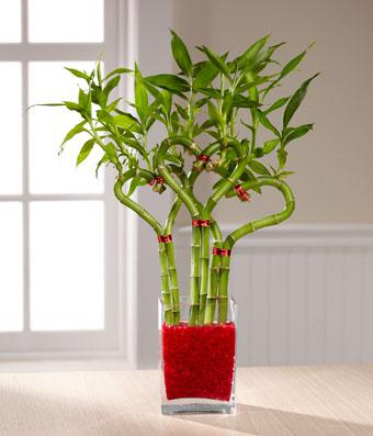 Lucky Bamboo plant for a gift