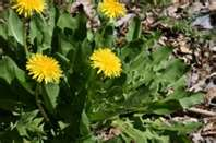 """""""Dandelion and their health benefits"""""""