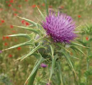 """Milk Thistle And Health Benefits"""
