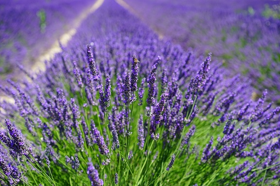 Lavender herbal remedy