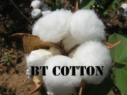 """""""GMO Cotton"""""""