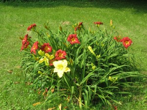 Organic yellow and red day lillies