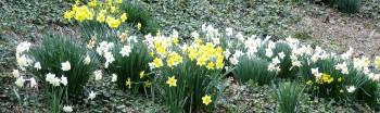 Spring organic flowers - daffolids