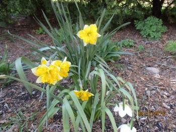 Organic Spring daffodils