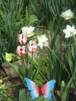 Spring garden Tulips mixture - organic grown