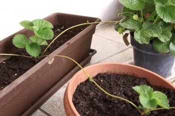 Container gardening -Strawberries