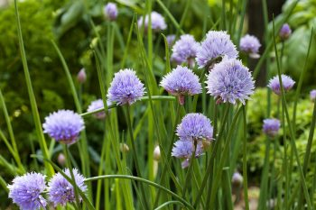 Organic herbs -chive-blooms-web (1)