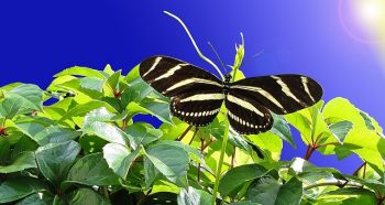Control pest naturally - Butterfly in your garden
