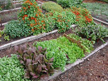 garden-bed-greens