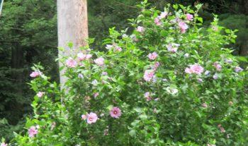 Rose of Sharon Bushes