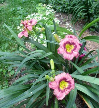 Organic Day-Lilies & Daisies