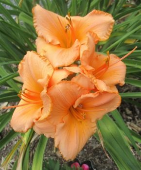 Double Melon colored Day-Lily