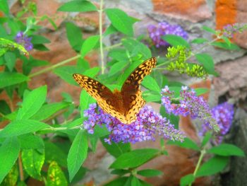 Brown & Yellow Butterfly