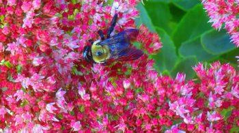 Bumble bee on tall Sedum