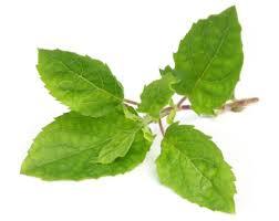 Heath benefits of Holy-basil-leaves
