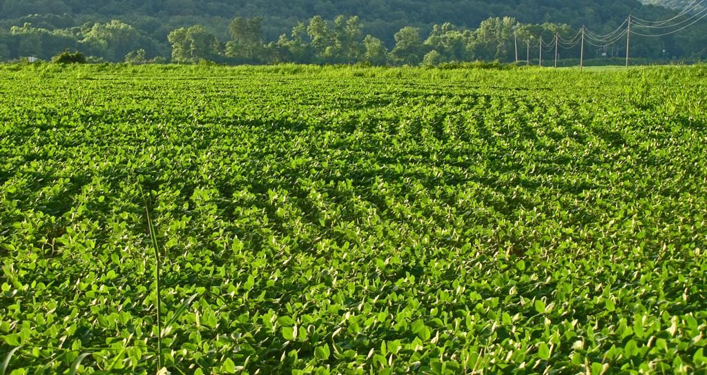 Healthy field-of-beans