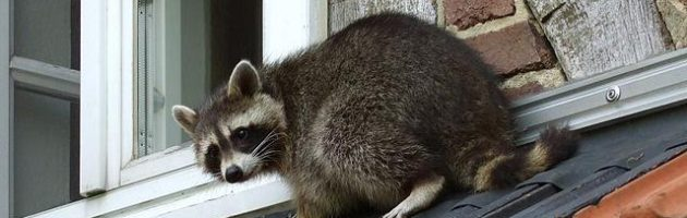 racoon on roof
