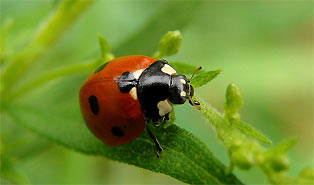 Eco-friendly pest control with ladybug