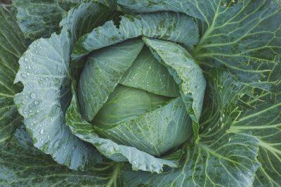 cabbage from DIY garden