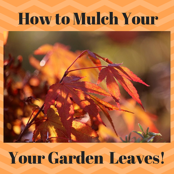 How to mulch Fall garden leaves