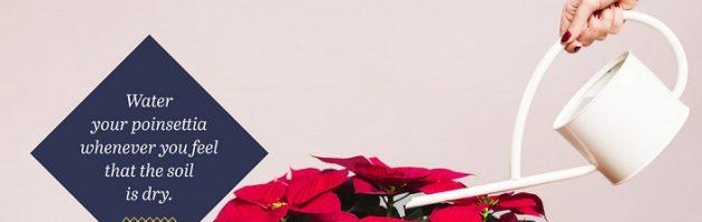 Poinsettia care guide