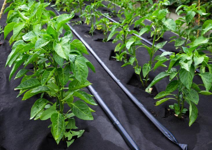solization organic weed control