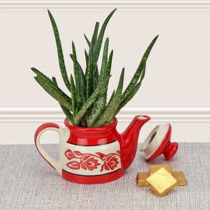 Aloe Vera plant for a gift
