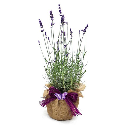 Lavneder plant for a gift