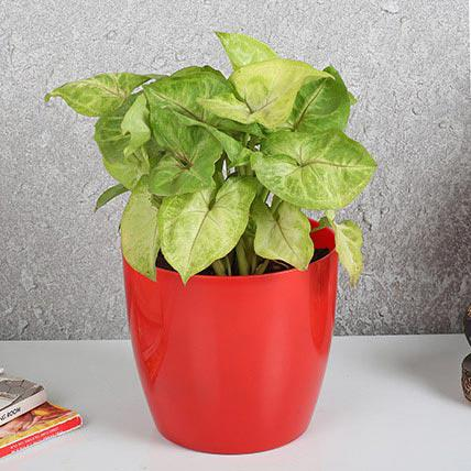 Synganium plant for a gift