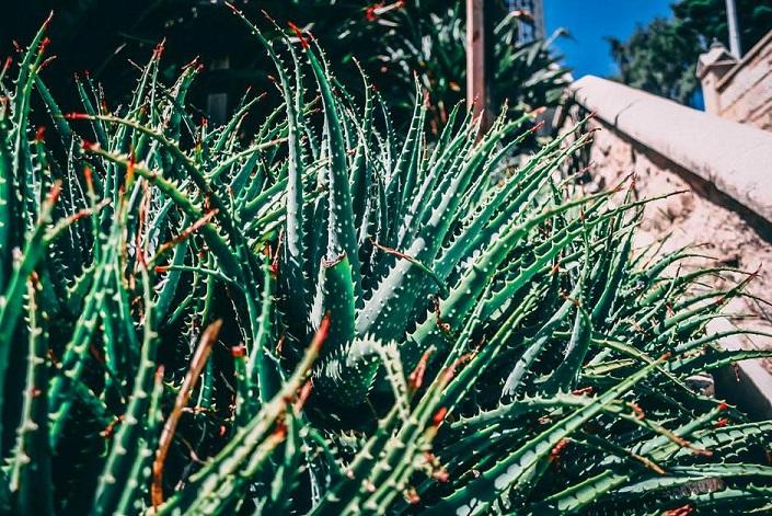 Aloe Vera - Medicinal Herb