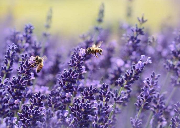 Medicinal Herb - Lavender
