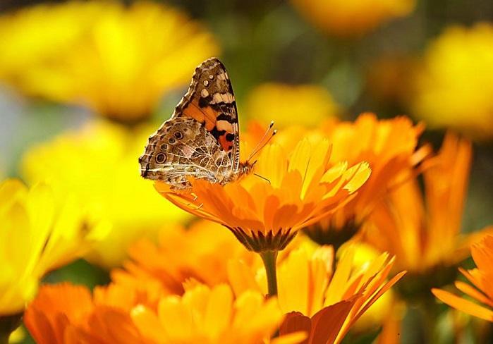 Medicinal herb Pot Marigolds