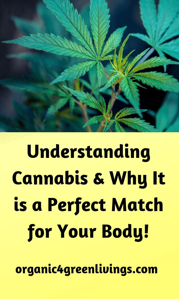 link between marijuana plant and the human body